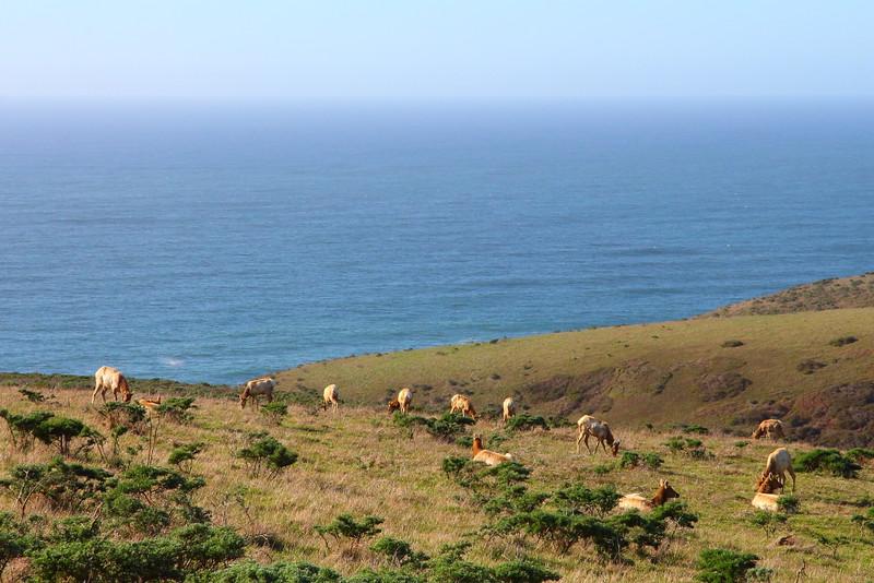 IMG_2956 Tule Elk