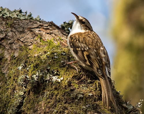 Treecreeper (Barry's)