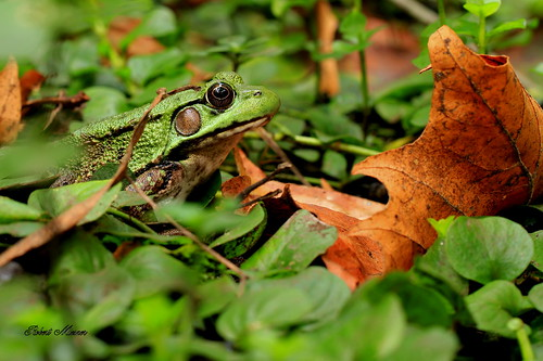 Green Frog Surrounded by Green