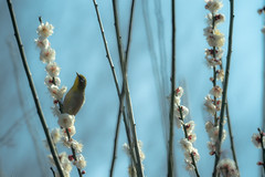 Ume blossoms and Japanese white-eye