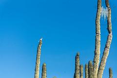 Cactus Wren Singing