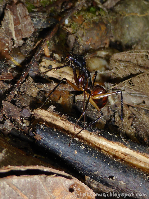 Waterfall Camponotus Gigas