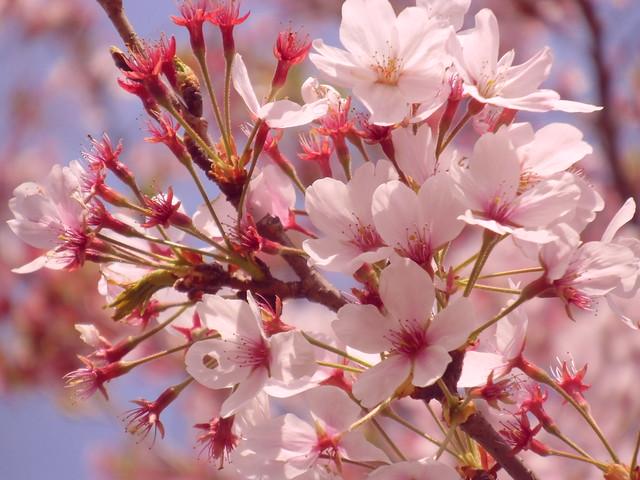 今年の桜..