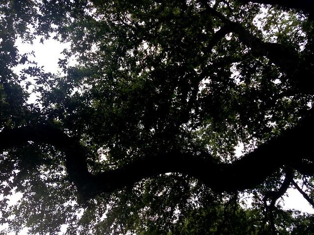 oaks1