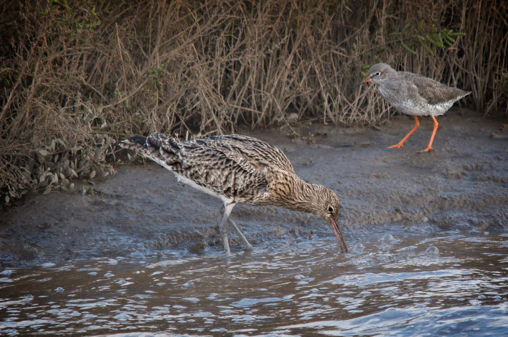 Red Shank and Curlew