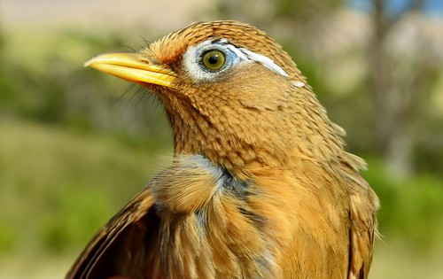 Melodious Laughing Thrush or Hwamei