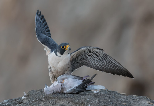 Peregrine and the dove