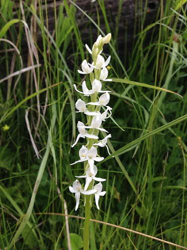 Sierra bog orchid (Platanthera dilatata var. leuchostachys)