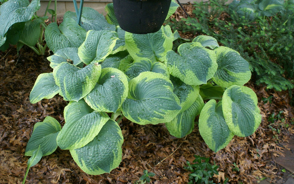 Hosta 'Frances Williams' (3)(05)-002