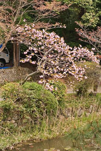 【写真】2013 桜 : 大原野神社/2021-01-15/IMGP0053