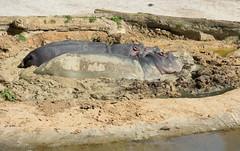 Hippopotamus, Auckland Zoo