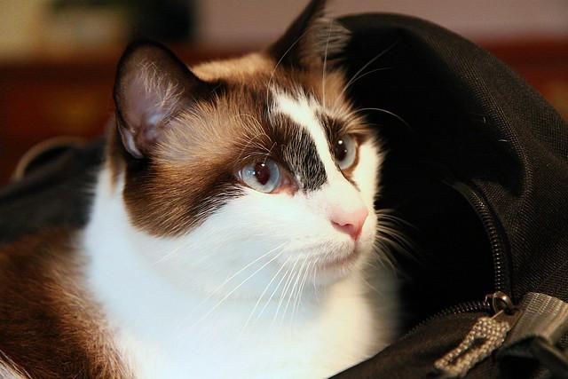 Apollo Cat (in a bag)