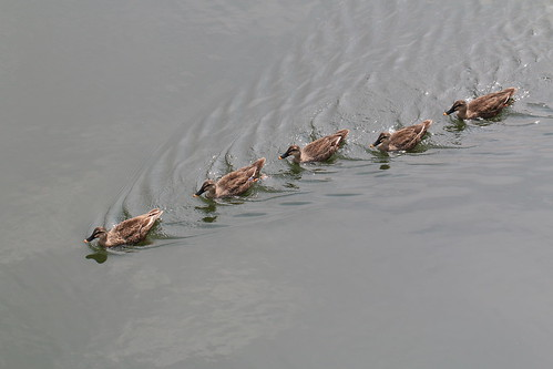 duck family Canon EOS 70D