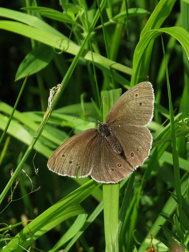Глазок цветочный, или глазок чёрно-бурый — дневная бабочка из рода Aphantopus семейства бархатниц. Википедия  Photo by Kari Pihlaviita on Flickr Автор фото: Kari Pihlaviita