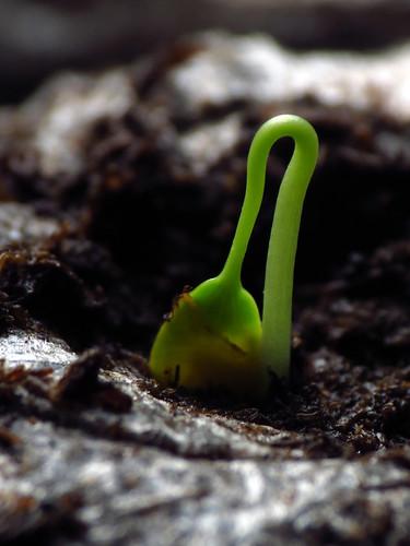 Passiflora Seedling