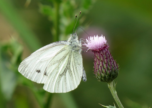 Green-veined White - Pieris napi