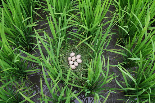 羅山村水稻田裡的紅冠水雞蛋。(圖片來源:花蓮農改場)