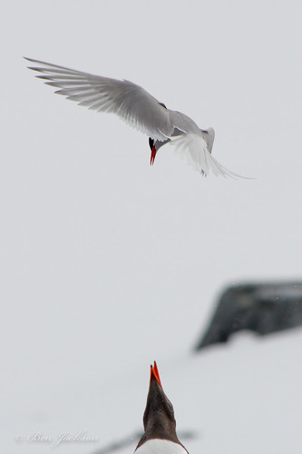 Tern vs Gentoo by benjacksonz