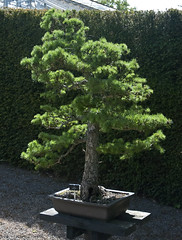 evergreen, shrub, tree, plant, sageretia theezans, houseplant, bonsai,