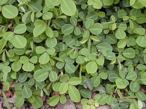 蠅翼草。(圖片來源:維基百科)