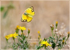 Orange Sulphur Colorado Butterfly photography by Ron Birrell,  DSC_5133