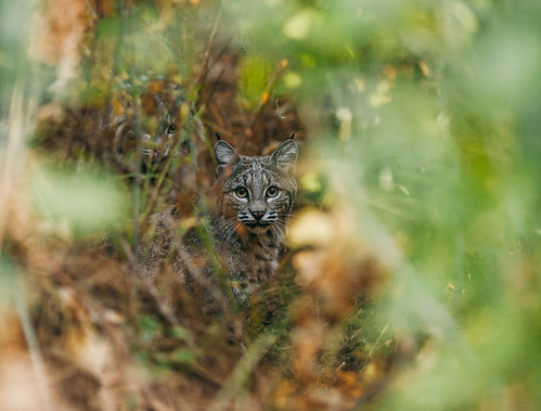 Wild Bobcats - Yosemite National Park