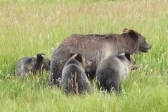 animal, mammal, grizzly bear, fauna, brown bear, safari, wildlife,