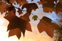 24. Oktober 2013 - 17:43 - Impressionen: Blätter eines Tulpenbaumes im Herbst