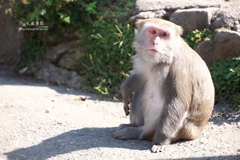 台南私藏景點-南化烏山獼猴 (20)