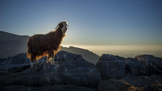Omani Mountain Goat