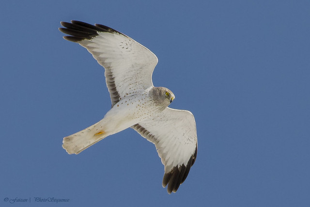 "Northern Harrier Male – ""Grey Ghost"""