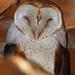 Barn Owl by tylerpockette4
