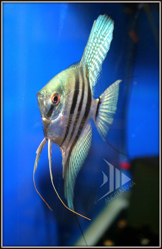 Lot of 6 Philippine Blue Zebra Freshwater Aquarium ...