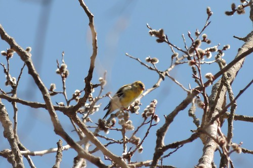 #41 American Goldfinch (Spinus tristis)