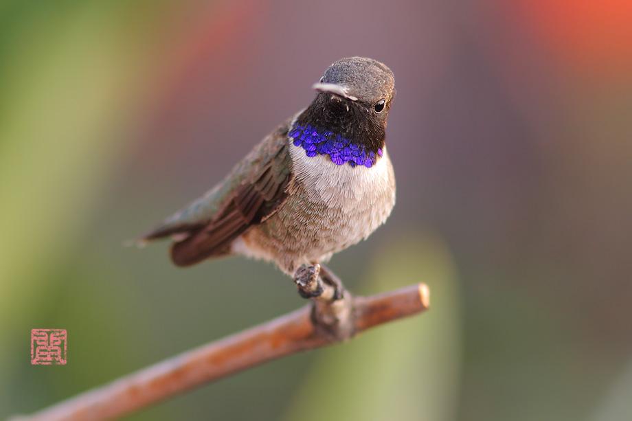 Black-Chinned-Hummingbird-040714