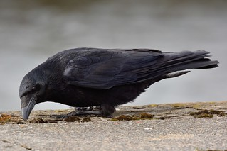 Lowdown Crow.