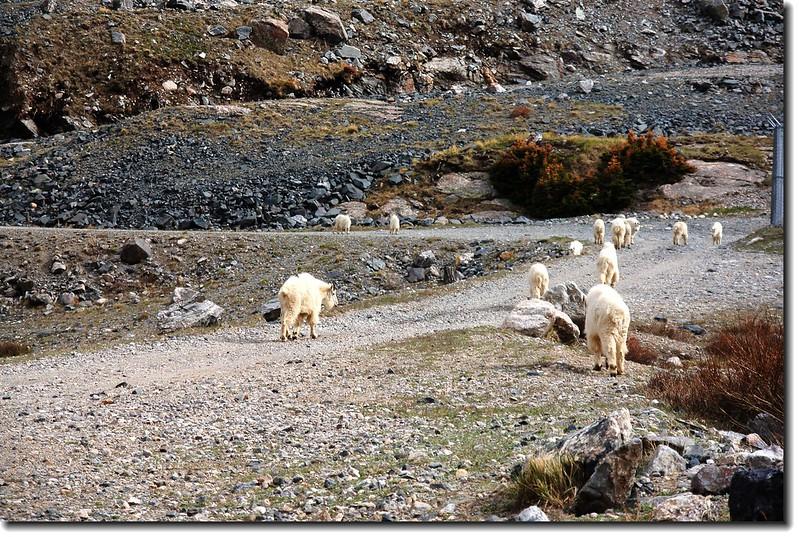 Mountain goats 11