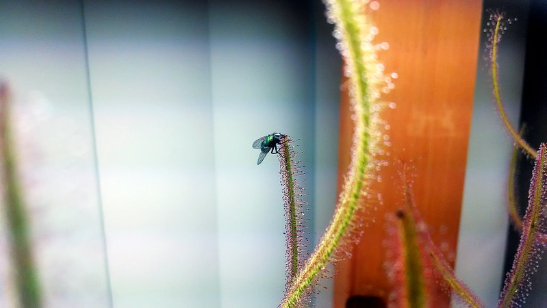 Drosera binata 'Marston Dragon' with fly.