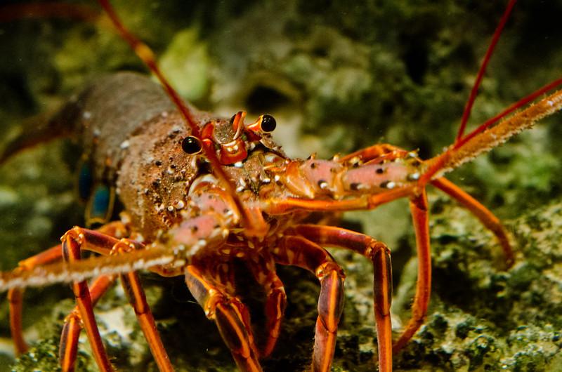 イセエビ Japanese spiny lobster