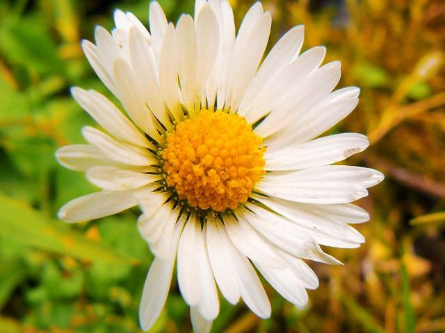 daisies3 (3)