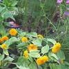 My teddy bear sunflowers welcomed me home! #home #garden #sunflower #teddybearsunflower