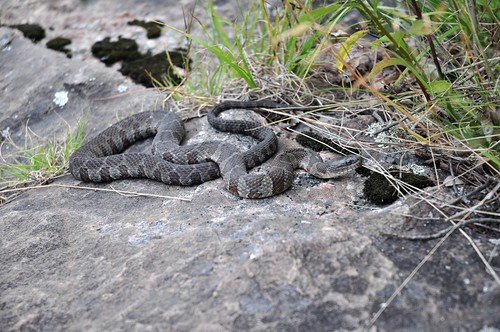 Nest of water snakes