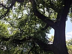 Elm Tree, Central Park
