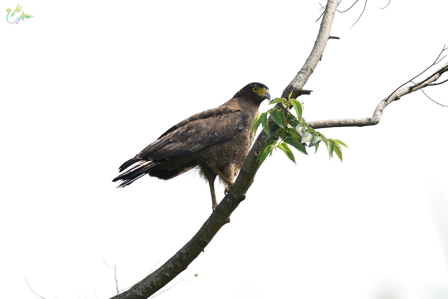 Crested_Serpent_Eagle_2696