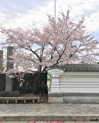 #桜 #🌸 #cherryblossom #flower