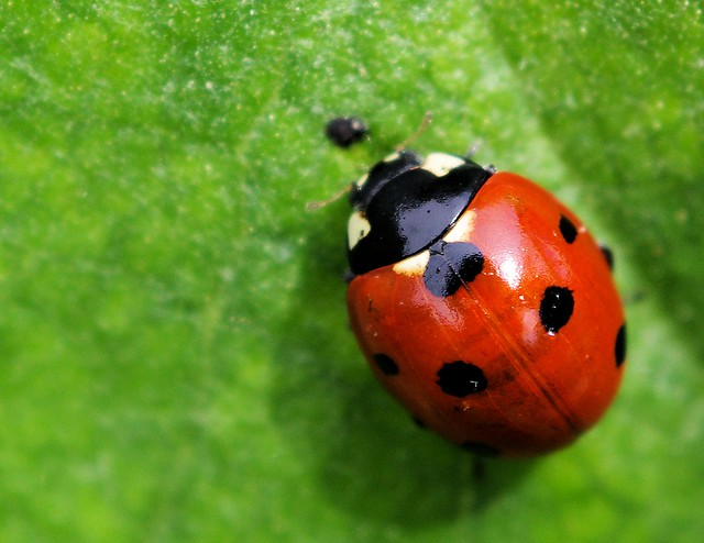 Coccinellidae | Flickr - Photo Sharing!