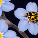 Ladybird on Forget me not