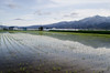 Furano Rice Paddy