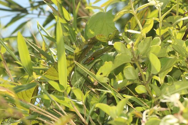 シラハタリンゴカミキリ