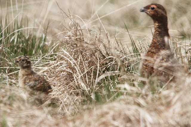 Red Grouse and Chick